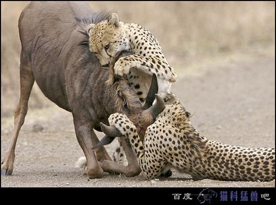 【组图】极限速度专家----猎豹的捕猎行动!