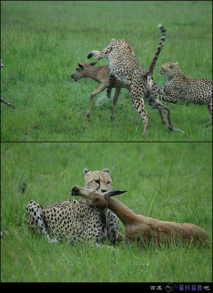 最大的捕食动物