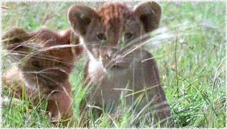 狮子纪录片---精彩图片