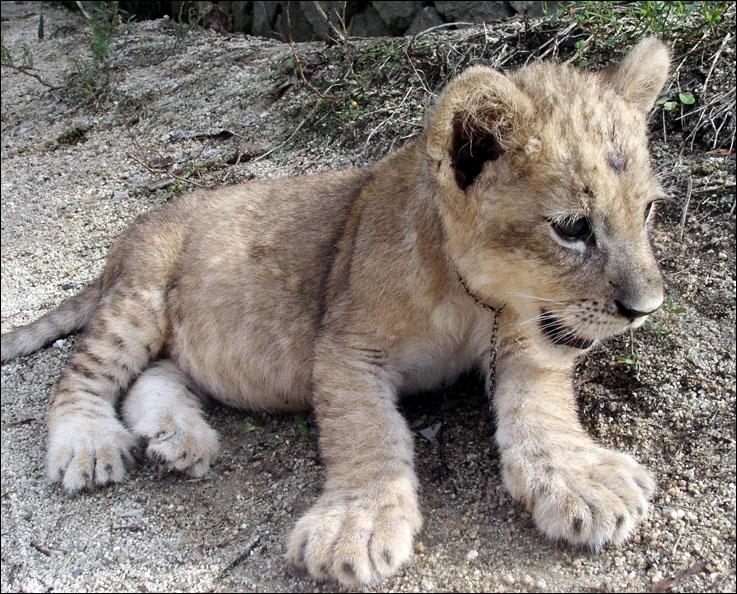 [图片+视频]可爱的小狮子